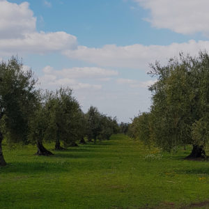 Adotta un ulivo in Puglia - Sabino Leone